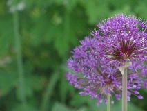 Bolas de la flor Fotos de archivo