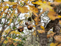Bolas del soplo en rama del roble en otoño Imágenes de archivo libres de regalías