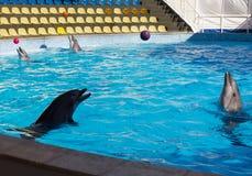 Bolas do jogo dos golfinhos Fotografia de Stock