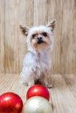 Bolas do Natal de Yorkie junto Foto de Stock Royalty Free