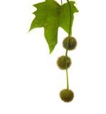Bolas globales de las semillas de un árbol plano imágenes de archivo libres de regalías