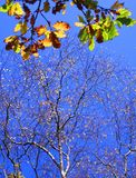 Bold and Beautiful. Stunning Colours on a bright  day as the final leaves of autumn cling to branches Royalty Free Stock Photos