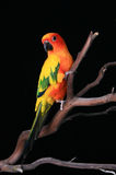 Bold Bright Sun Conure. Parrot on a Tree Branch stock photos
