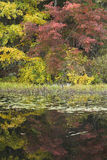 Bold colors. Maple tree and pond lilly pads make up this fall forest image royalty free stock photo