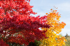 Bold colors of deciduous trees in autumn Stock Image