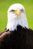 Bold Eagle. Stock Photos