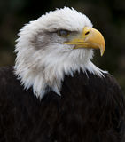 Bold Eagle. Can be found in the USA This one has its 3rd eye lid over its eye stock photo