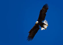Bold eagle in flight. On blue sky stock images
