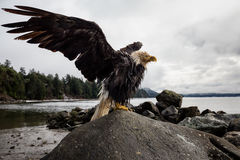 Bold Eagle with Spread Wings. Bold Eagle sitting on a rock spreading it& x27;s wings. Picture taken in Hornby Island, British Columbia, Canada stock photos