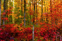 Bold Fall Foliage. Vivid fall colored foliage in a woodsy forest in autumn Royalty Free Stock Image