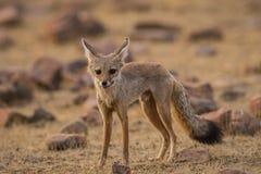 A bold indian fox pup Vulpes bengalensis stock photos