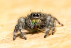 Bold Jumping Spider grooming his chelicerae and fangs. With his pedipalps stock photos