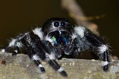 A Bold Jumping Spider peering over a tree branch. A rather large Bold Jumping spider eyes the camera warily from the relative safety of its tree branch, and stock photography