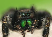 Bold Jumping Spider (Phidippus audax) Stock Photography