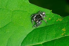 Bold Jumping Spider - Phidippus audax. Bold Jumping Spider resting on a leaf. Also known as a Daring Jumping Spider. Todmorden Mills Park, Toronto, Ontario stock photo