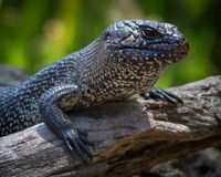 Bold Lizard Stock Images