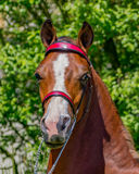 Bold Morgan Filly. This bold purebred Morgan yearling filly is ready for the show ring royalty free stock image
