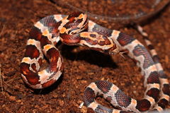 Bold Patterned Corn Snake. A recently hatched baby corn snake with bold patterning. The saddles along the back are contrasted very nicely stock image