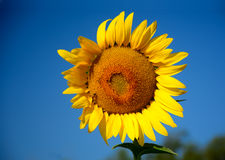 Bold  Sunflower Stock Photography