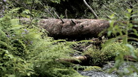 Bold Tree Log laying in a Forest over a River. Static medium shallow depth of field shot of a fallen tree log laying over a fast streaming Njupan river midst a stock footage