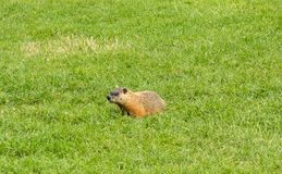 A fat groundhog walking across the grass at a campground in ontario. Bold wildlife scrounging for food from tourists as seen while camping in canada in the stock photography