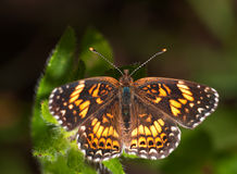 Boldly checkered Gorgone Checkerstpot butterfly. On green leaves of Black-eyed Susan flower; dorsal view Stock Photo
