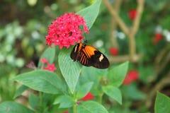 Boldly pattern butterfly feeding on Penta flower stock photography