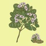 Boldo Ejemplo de una planta en un vector con la flor para el uso i Fotografía de archivo