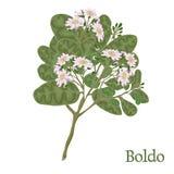 Boldo Ejemplo de una planta en un vector con la flor para el uso i Fotos de archivo libres de regalías
