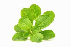 Boldo leaf: green plant called Boldo da Terra stock image