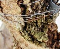 The bole tree Stock Photography