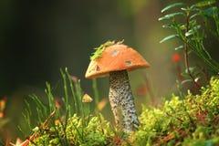 Boleet het groeien in Litouws bos Stock Foto's