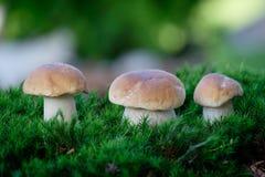 Boleetpaddestoelen op mos in het bos Royalty-vrije Stock Fotografie