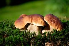Boleetpaddestoelen op mos in het bos Stock Fotografie