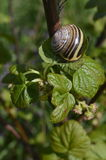 Boleslawiec, Poland - May: Snail on a bush. Snail on fresh green currant bush stock photography
