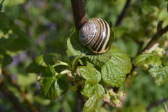 Boleslawiec, Poland - May: Snail on a bush. Snail on fresh green currant bush Stock Photo