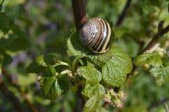 Boleslawiec, Poland - May: Snail on a bush. Snail on fresh green currant bush stock photo