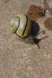 Boleslawiec, Poland - May: Snail on stone. Snail on the stone, wet snail footprints stock images