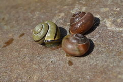 Boleslawiec, Poland - May: Snails on stone. Three snails on the stone, wet snail footprints royalty free stock image