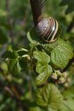 Boleslawiec, Pologne - pouvez : Escargot sur un buisson Photographie stock