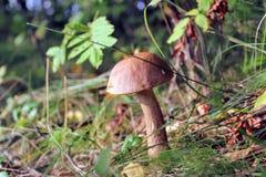 Bolete березы гриба растет на том основании среди низкой травы Стоковое Изображение RF