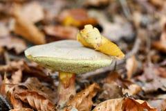Bolete гриба красный треская Стоковое Изображение RF