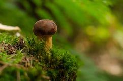Bolete залива гриба в мхе Стоковое Фото