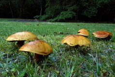 Bolete. Royalty Free Stock Image