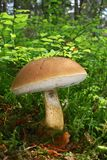 Bolete amaro del fungo Fotografia Stock