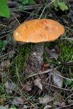 Bolete anaranjado del abedul Imagenes de archivo