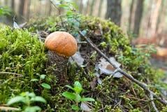 Bolete arancione della betulla Immagine Stock