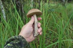 Bolete comestible del abedul de las setas en la mano humana en un fondo de arbustos verdes Fotos de archivo