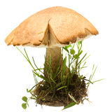 Bolete de bouleau de champignon de couche d'isolement Photos stock
