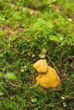 Bolete eater covering porcini mushroom Royalty Free Stock Photos